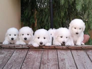 Quale cucciolo di Pastore Maremmano Abruzzese?